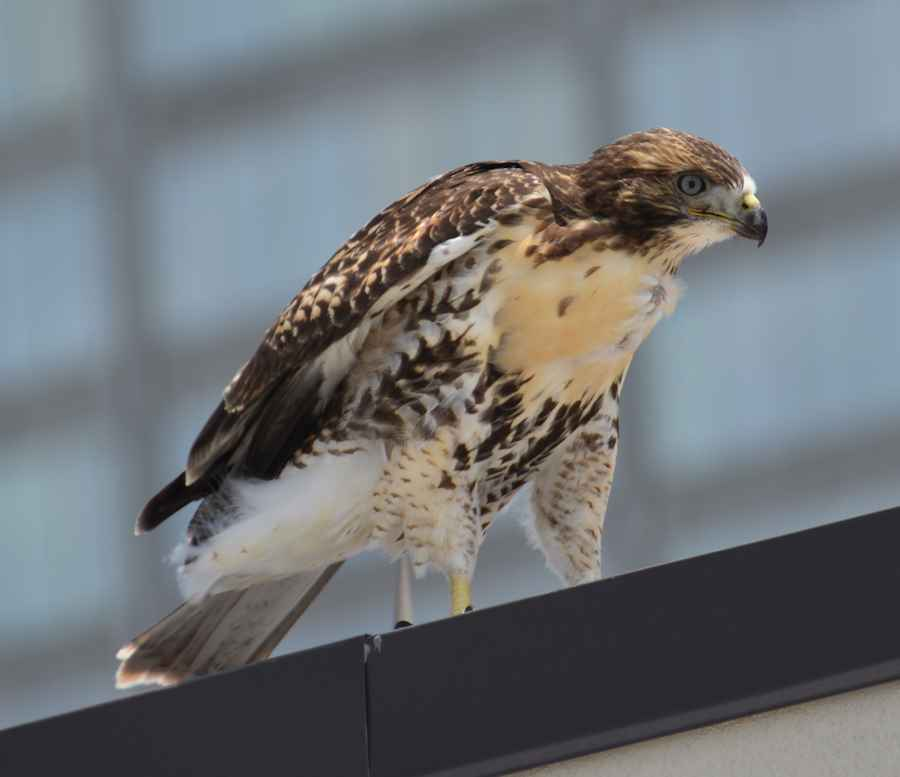 Red Tail Hawk Little Rock May 20 2014